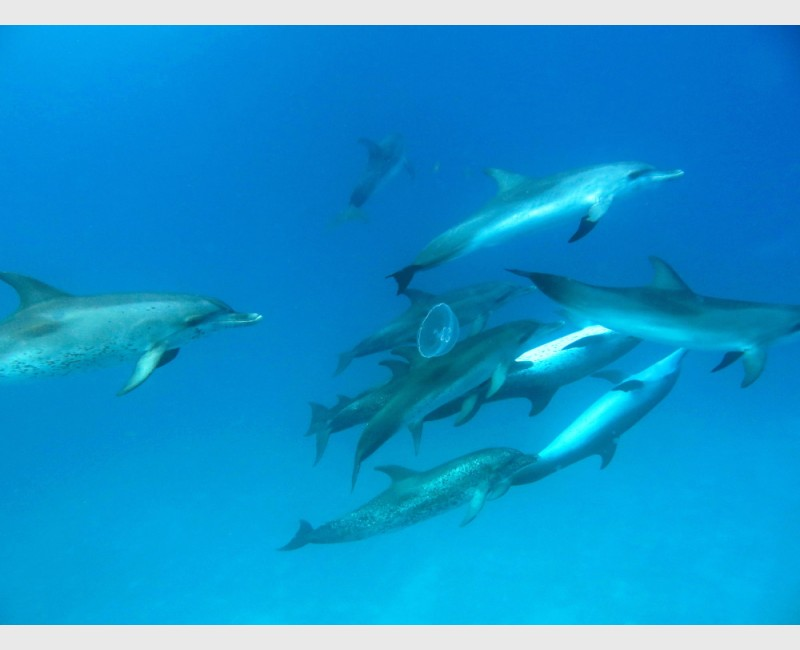 A fairly large group of spotted dolphins swimming among jellyfish - Bimini, The Bahamas, August 2013