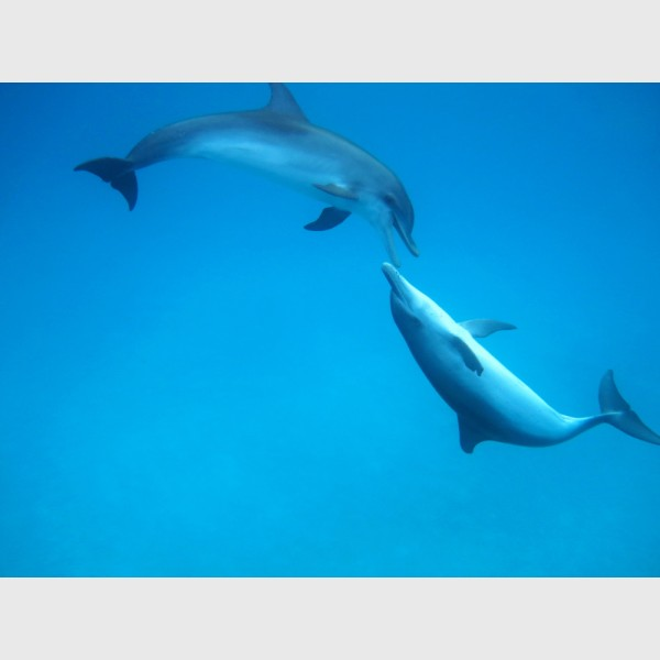 Two spotted dolphins at play - Bimini, The Bahamas, August 2013