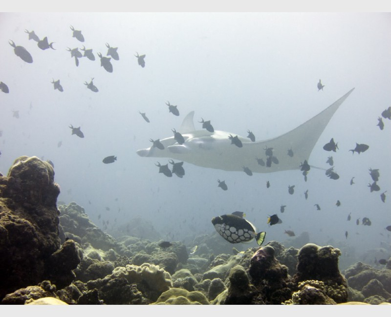 A manta ray glides behind a clown triggerfish and multiple red-toothed triggerfish - Maldives, March 2013