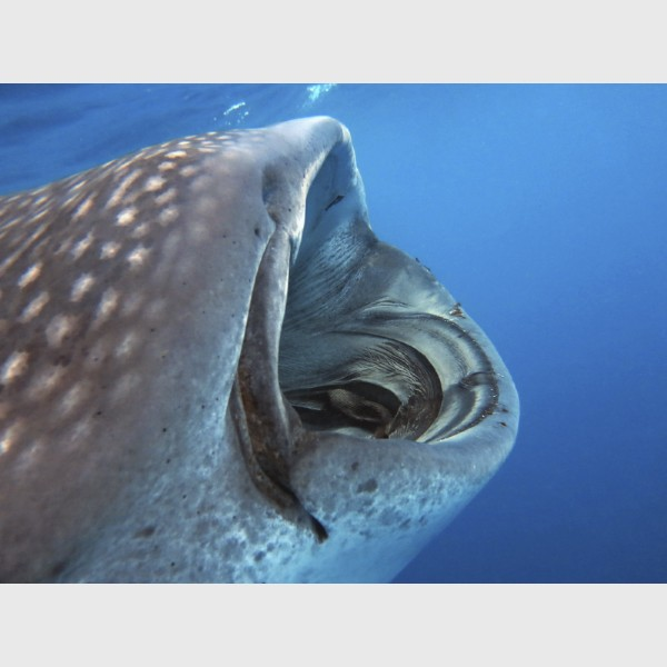 Big mouth! A whale shark filter feeds - Isla Mujeres, Mexico, August 2013