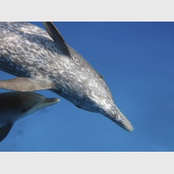 An older spotted dolphin, inverted and watching attentively - The Bahamas, July 2014