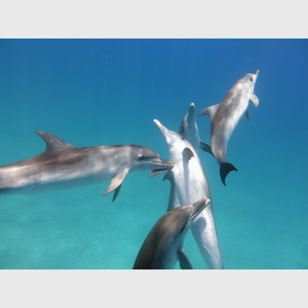 Juveniles at play - Bimini, The Bahamas, July 2014