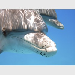 Young spotted dolphin close-up - Bimini, The Bahamas, July 2014