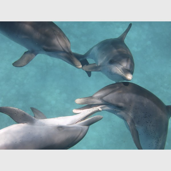 Young spotted dolphins playing - Bimini, The Bahamas, July 2014