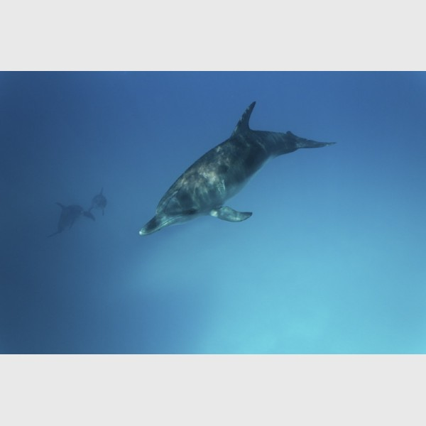 Young spotted dolphin on the go - Bimini, The Bahamas, August 2014