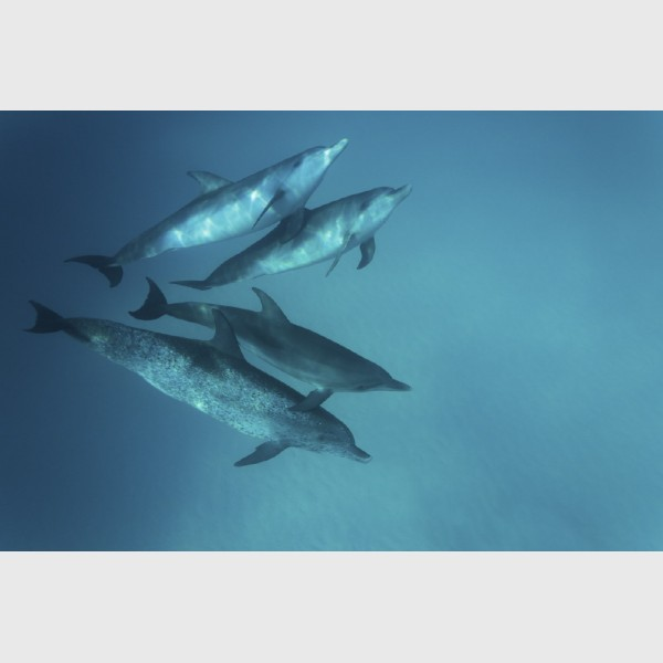 Spotted dolphins, with an older mother below - Bimini, The Bahamas, August 2014