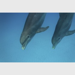 Bottlenose dolphins - West End or Bimini, The Bahamas, August 2014