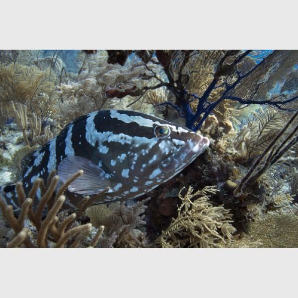 Close-up of a Nassau grouper - Danger Reef, The Exumas, December 2014