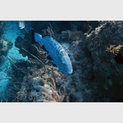 A black grouper, with a Cubera snapper behind it - Danger Reef, The Exumas, December 2014