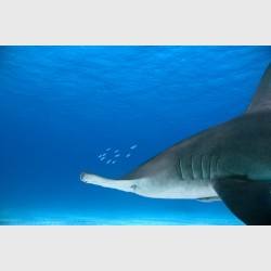 A great hammerhead preceded by a small cloud of fish - Bimini, The Bahamas, December 2014
