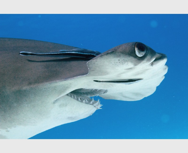 Close-up of a great hammerhead, seen from the side - Bimini, The Bahamas, December 2014