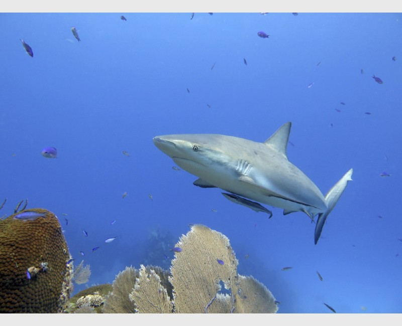 A caribbean reef shark gliding over sea fans and corals - Danger Reef, The Exumas, July 2014