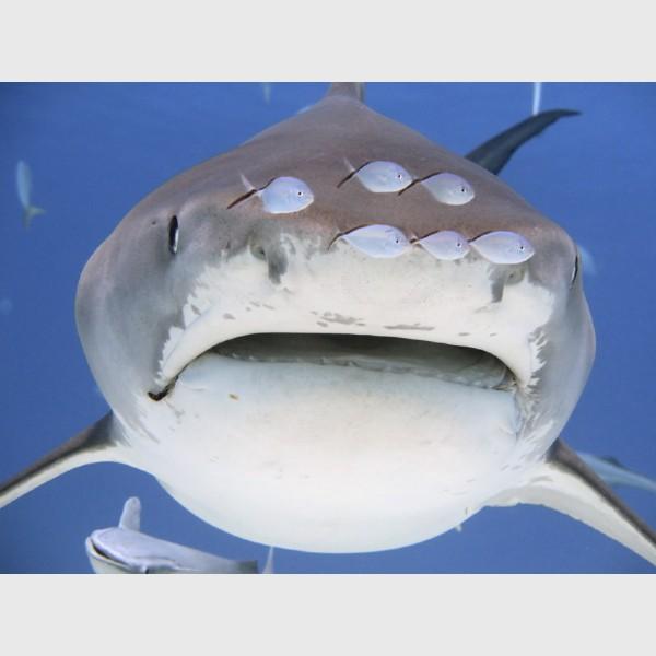 "Bar jacks ahead of and a remora below ""Lady Hook"" the tiger shark - Tiger Beach, Grand Bahama, July 2014"