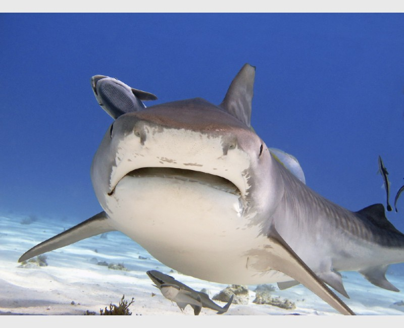 An open-mouthed tiger shark approaches - Tiger Beach, Grand Bahama, July 2014