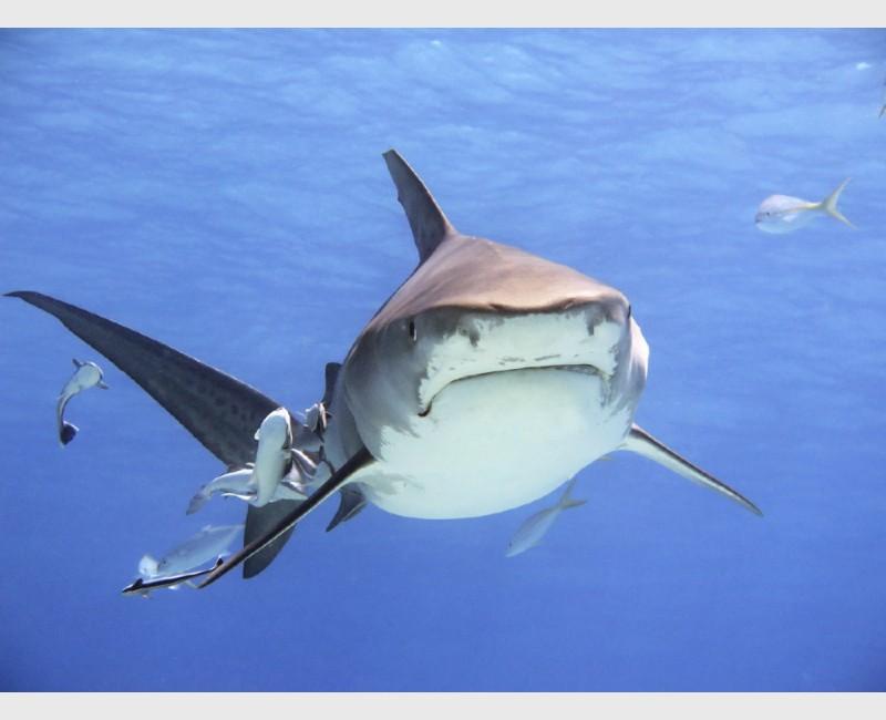 Probably my favourite tiger shark image - Tiger Beach, Grand Bahama, July 2014
