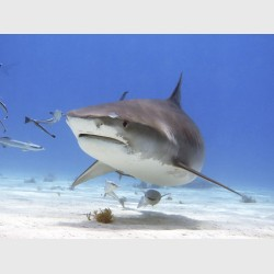 Tiger shark surrounded by remoras - Tiger Beach, Grand Bahama, July 2014