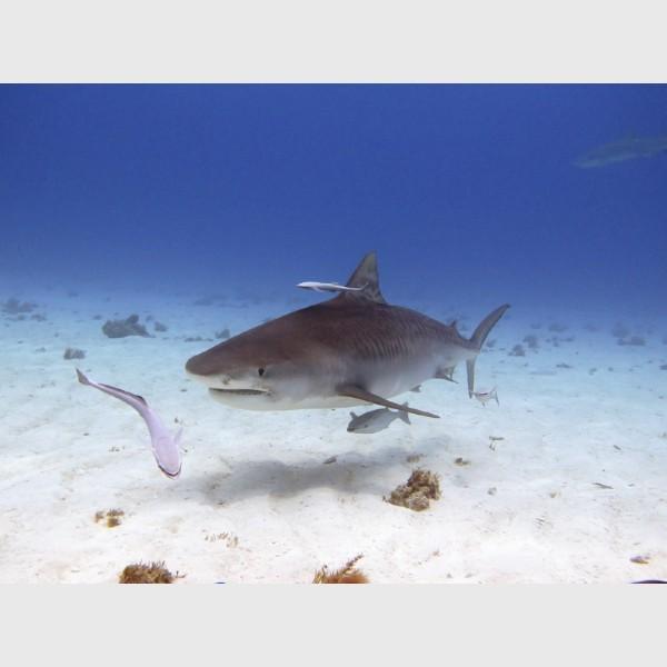 Tiger shark and shadow - Tiger Beach, Grand Bahama, July 2014