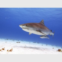 Tiger shark, with remora - Tiger Beach, Grand Bahama, July 2014