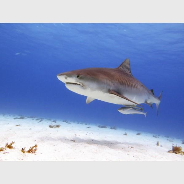 Tiger shark, with remora - Tiger Beach, Grand Bahama, July 2014