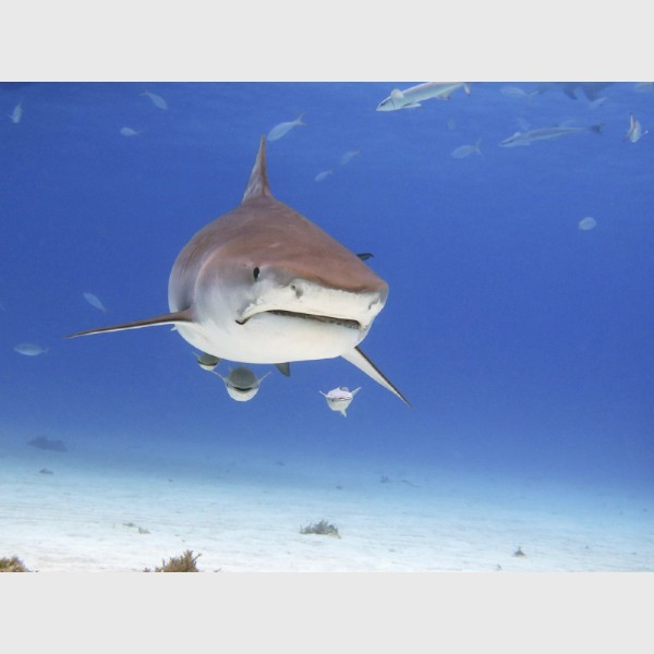 Tiger shark with remoras in the shallows - Tiger Beach, Grand Bahama, July 2014