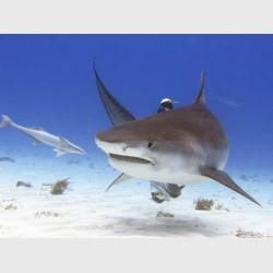 Turning tiger shark - Tiger Beach, Grand Bahama, July 2014