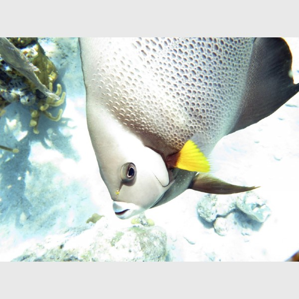 A grey angelfish up close - The Exumas, April 2014