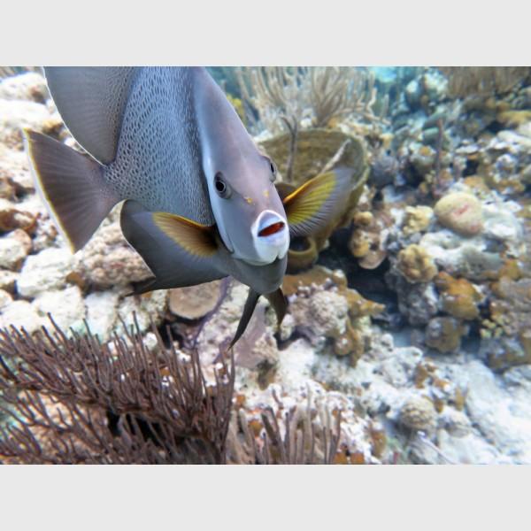 Grey angelfish - The Exumas, April 2014