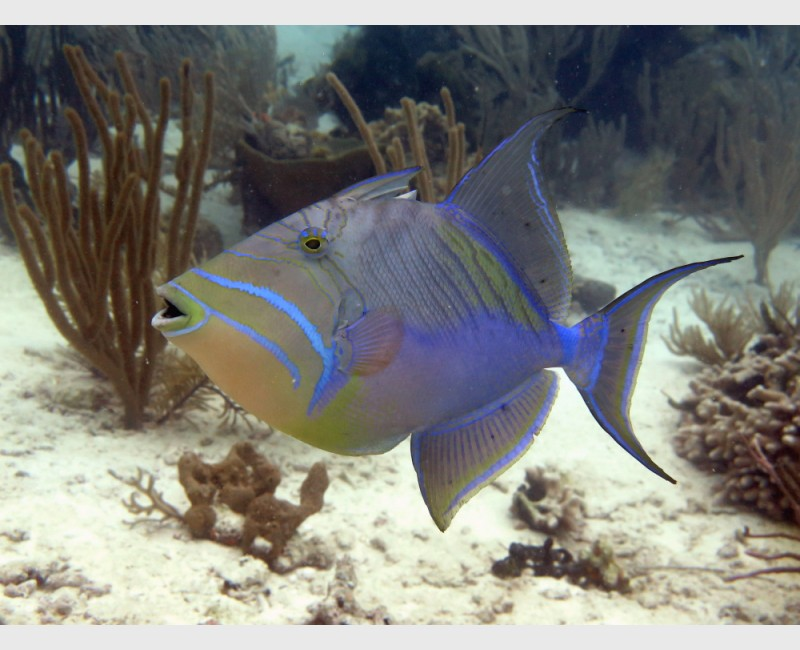 Queen triggerfish - The Exumas, April 2014