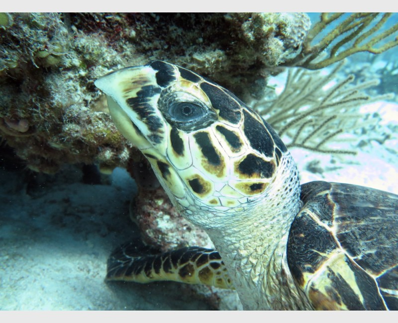A hawksbill turtle resting by a coral head - The Exumas, April 2014