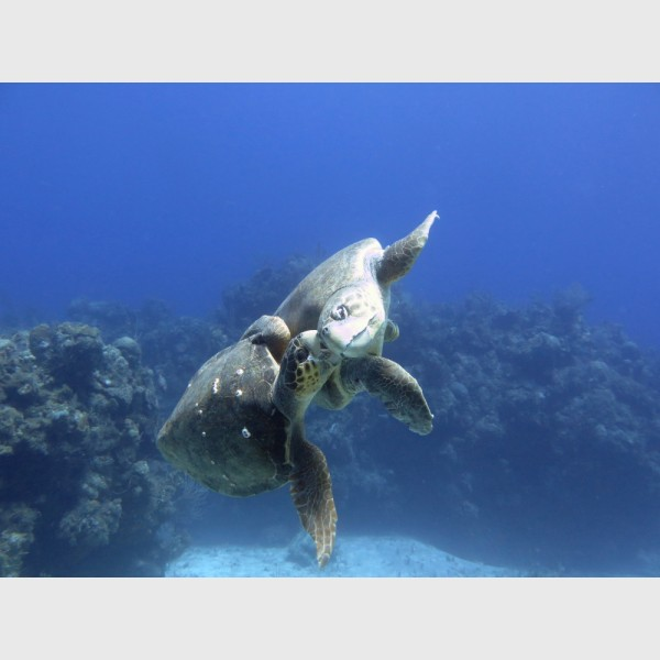 Loggerhead lovebite -- loggerhead turtles - Danger Reef, The Exumas, April 2014