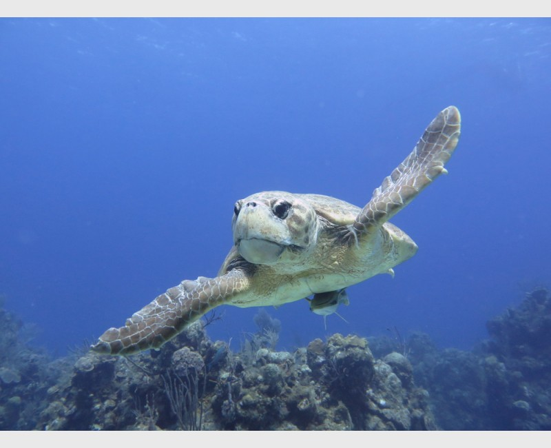 A large loggerhead turtle gliding - Danger Reef, The Exumas, April 2014