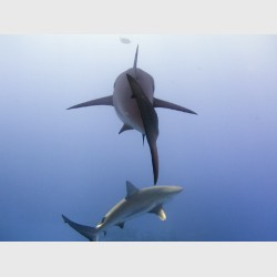 Caribbean reef sharks juxtaposed - Danger Reef, The Exumas, April 2014