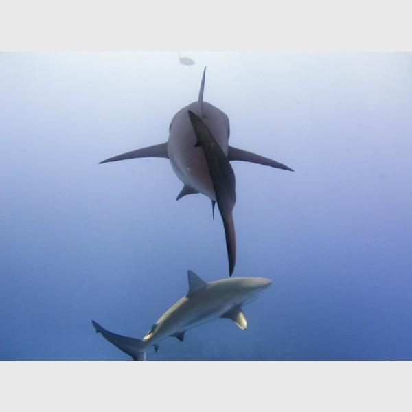 Caribbean reef sharks juxtaposed - Danger Reef, The Exumas, April 2014