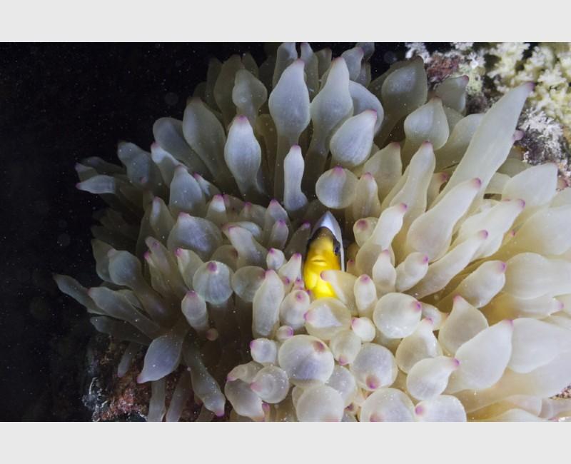 A clownfish in its anemone, night dive - Sataya, Egypt, December 2014