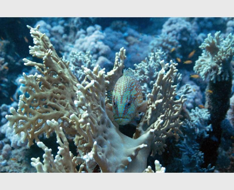 Coral grouper nestled - Sataya, Egypt, December 2014
