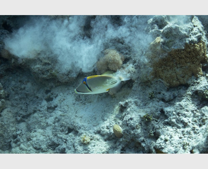 Digested coral turned into sand -- trailing a Rhinecanthus assasi - Sataya, Egypt, December 2014