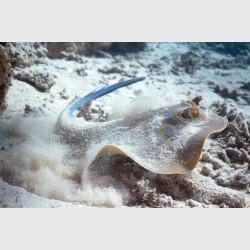 A blue-spotted stingray uncovered - Sataya, Egypt, December 2014