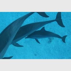 Three dolphins in close proximity - Sataya, Egypt, December 2014