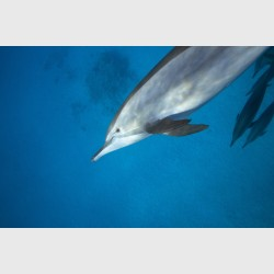 Close encounter with a spinner dolphin - Sataya, Egypt, December 2014