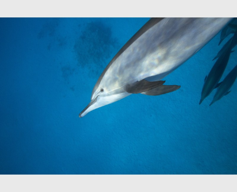 Close encounter with a spinner dolphin - Sataya, Egypt, December 2014