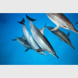 Spinner dolphins about to mate - Sataya, Egypt, December 2014