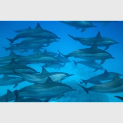 Multiple generations of spinner dolphins cruising over sand and isolated corals - Sataya, Egypt, December 2014