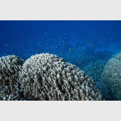Clouds of two-tone chromis above the coral - Sataya, Egypt, December 2014