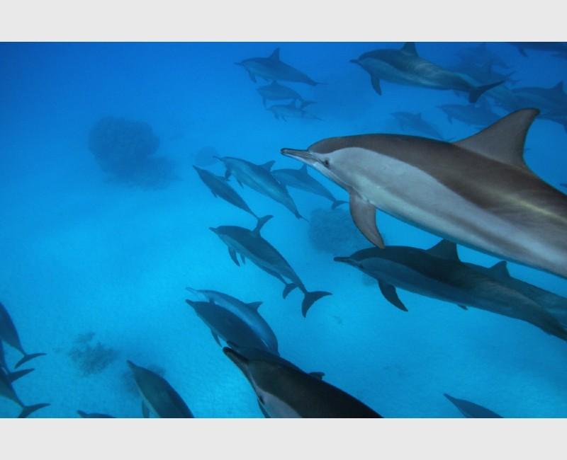 Diagonal dolphins - Sataya, Egypt, December 2014
