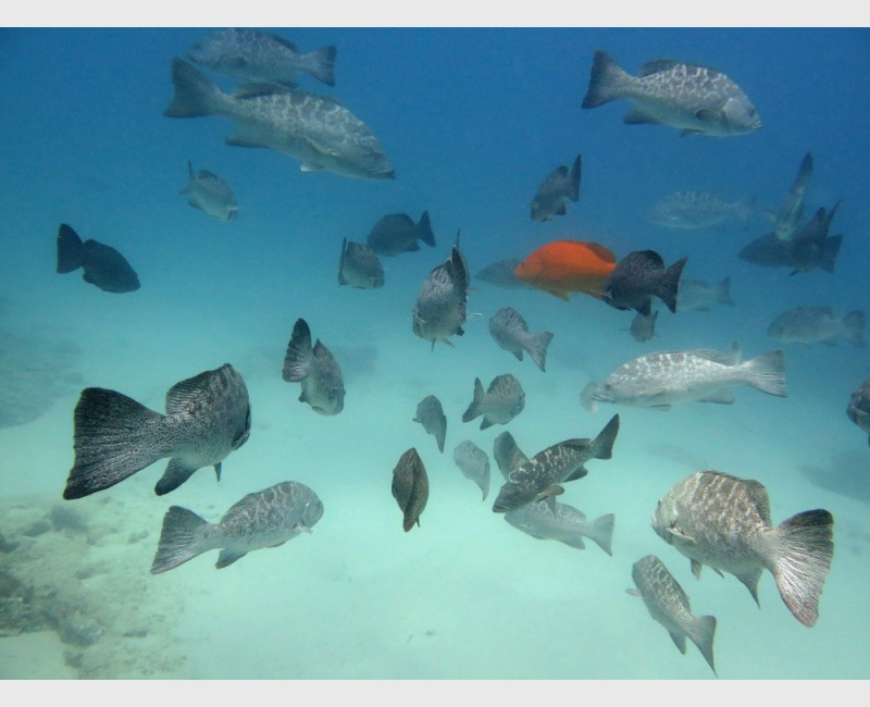 A large gathering of leopard groupers - Cabo Pulmo, Mexico, April 2014
