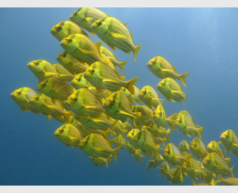 The school of porkfish at Cabo Pulmo - Mexico, April 2014