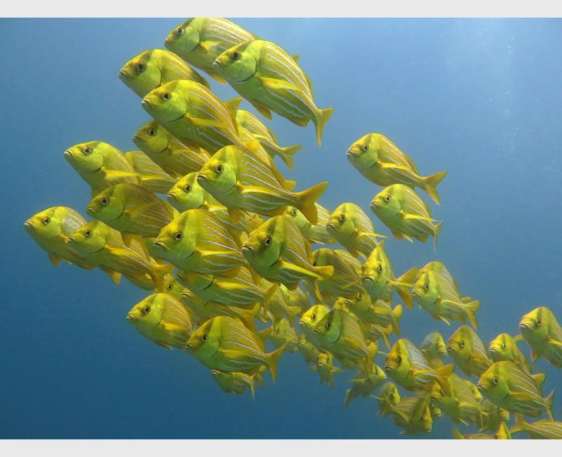 The school of porkfish at Cabo Pulmo - Mexico, April 2014
