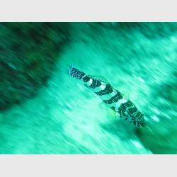 Giant hawkfish in a blur, near Cabo San Lucas - Mexico, January 2014