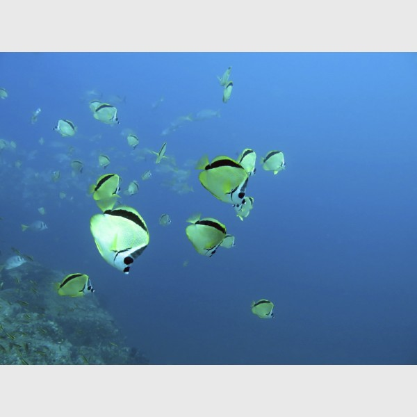 Black-nosed butterflyfish - Cabo San Lucas, Mexico, January 2014
