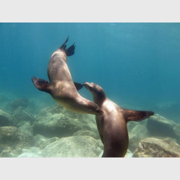 Sea lions playing - Cabo Pulmo, Mexico, April 2014